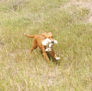 Nova Scotia Duck Tolling Retriever in the Field Retrieving