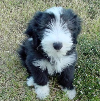 Bearded Collie at 10 weeks