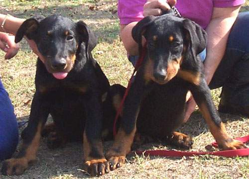 A Pair of Beauceron Puppies