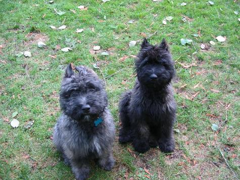 Two Bouvier des Flandres Littermates