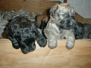 Litter of Bouvier des Flandres puppies