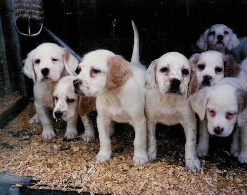 Litter of English Setter Pups