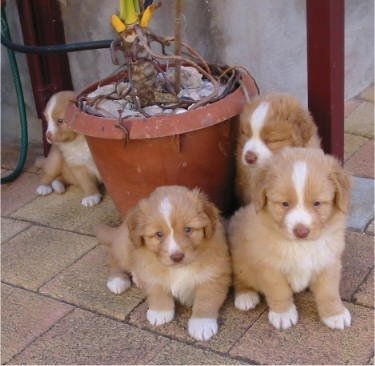 Four Little Nova Scotia Duck Tolling Retriever Puppies Huddle aroun a Plant