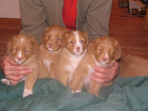 Four Gorgeous, Cute Nova Scotia Duck Tolling Retriever Puppies