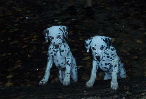 McDottie Dalmatian puppies - Henry and Mark
