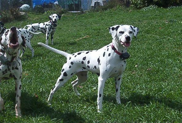 McDottie Dalmatians - Juno, Scout & Kelly