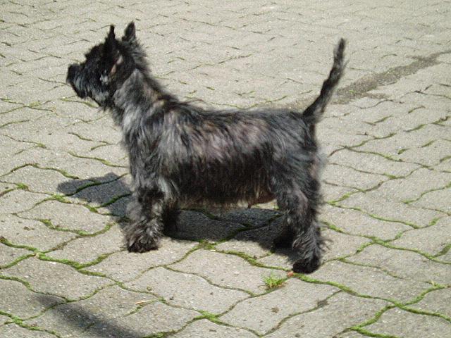 Cairn Terrier Pics