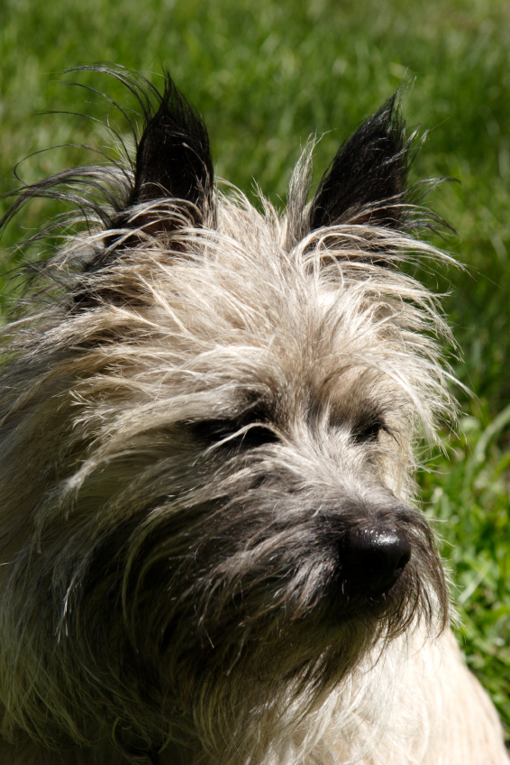 Cool Cairn Terrier Ball Adorable Dog - iStock_000000818858Small  Best Photo Reference_4510076  .jpg