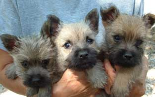 Trio of Cairn Terrier Pups