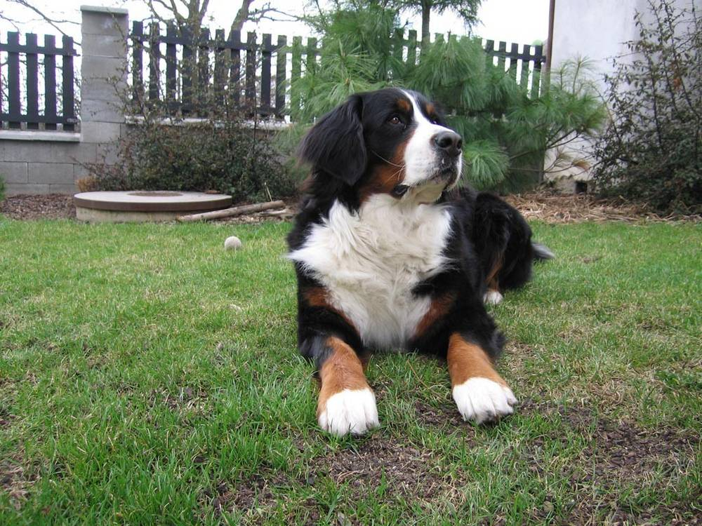 Bernese Pictures