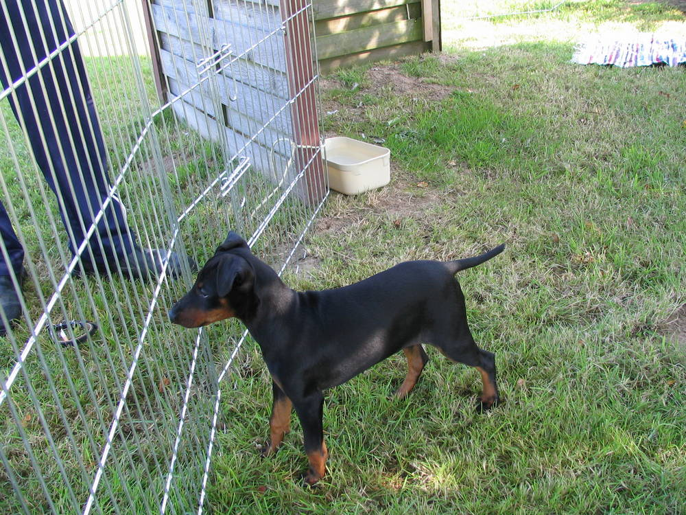 Manchester Terrier at the fence