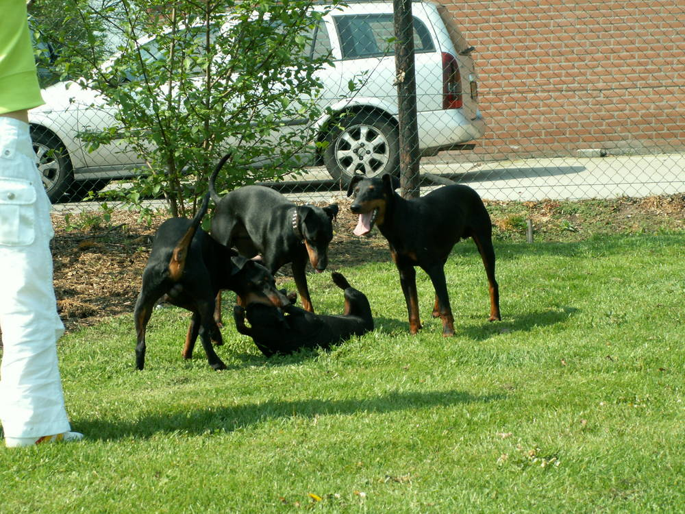 Manchester Terrier's playing in grass