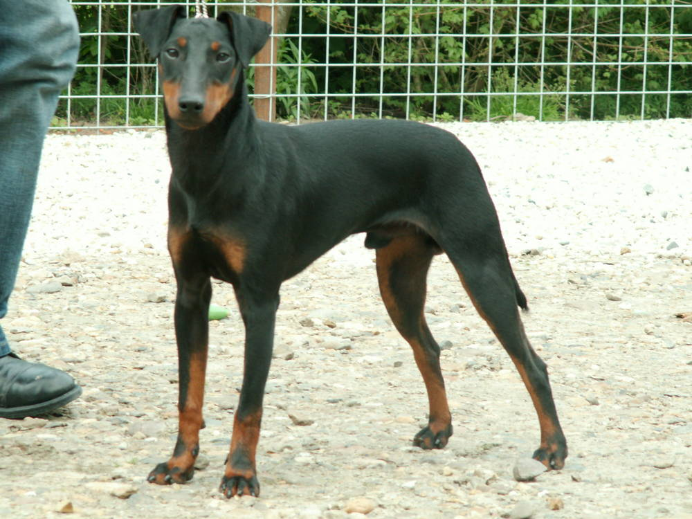Manchester Terrier staring
