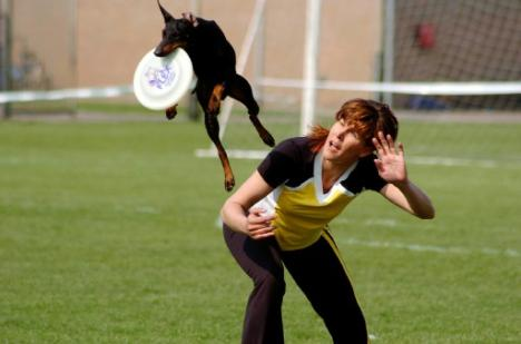 Manchester Terrier catching frisbee