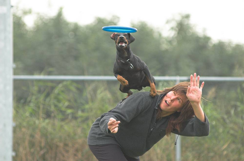 Manchester Terrier jumping to catch frisbee