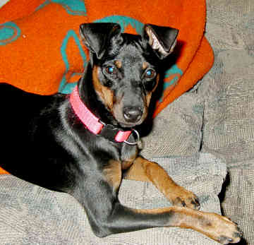 Manchester Terrier lying down