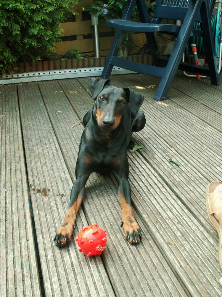 Manchester Terrier with ball