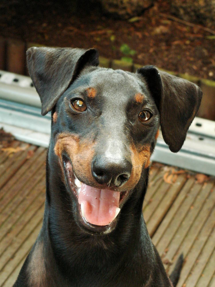Manchester Terrier smiling