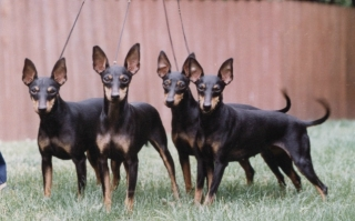 Toy Manchester Terriers