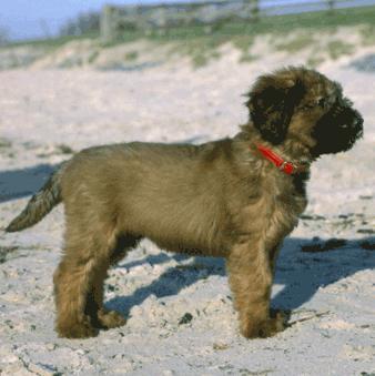 Briard Pup