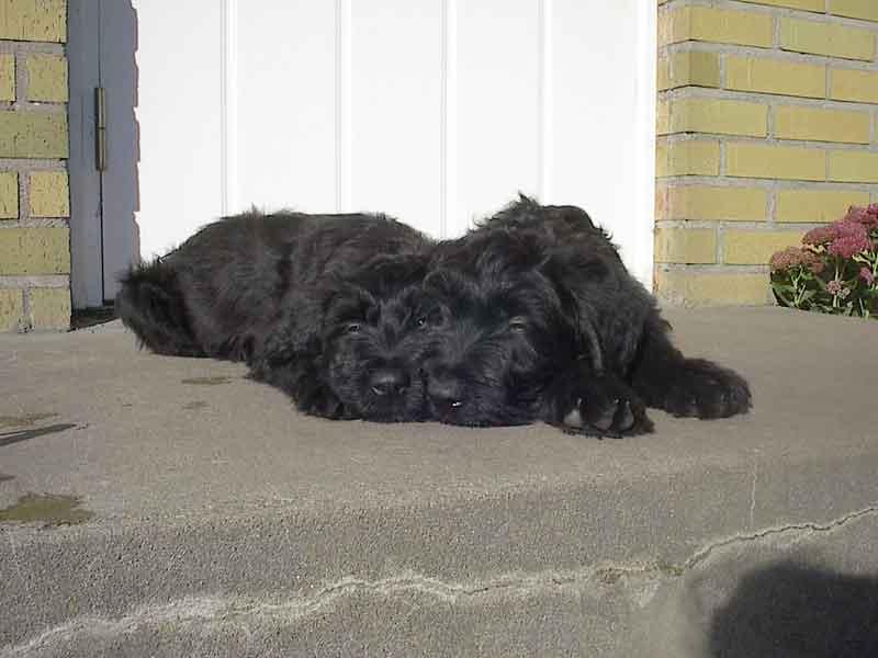 Briard Pups