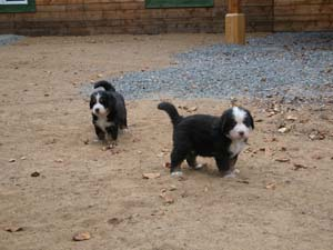 5 week old Bernese Mountain Dog Pups