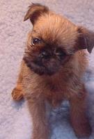 Brussels Griffon Pup at 7 weeks