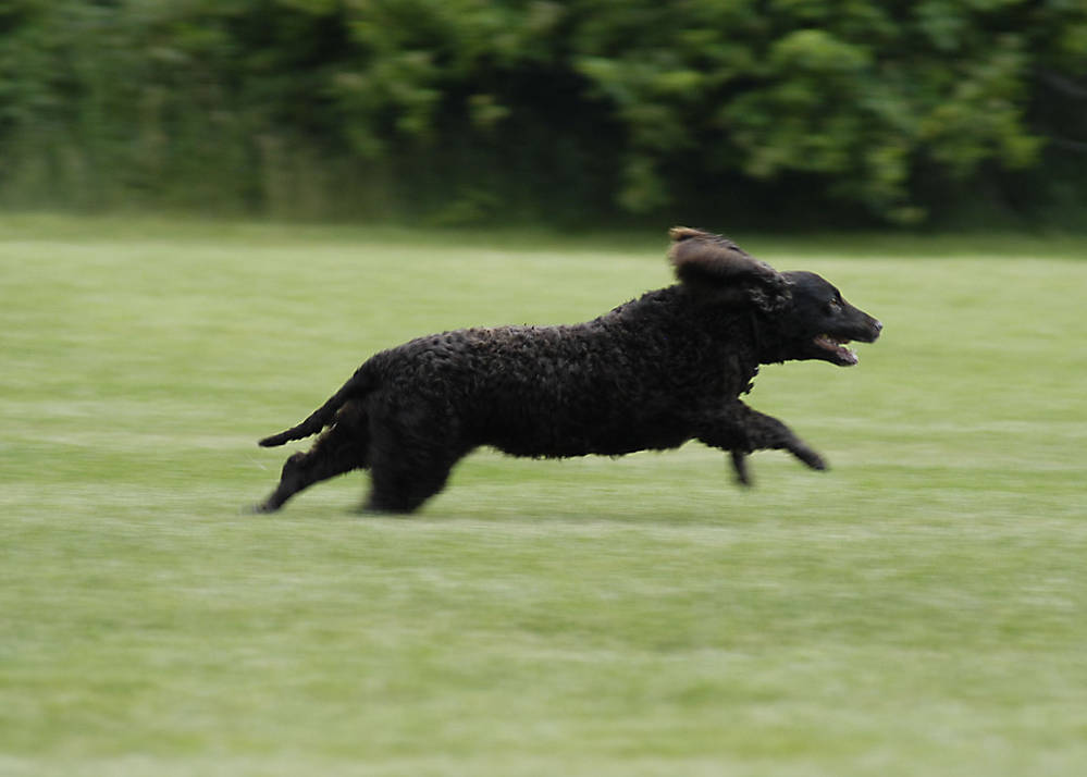 American Water Spaniel Running Full Bore