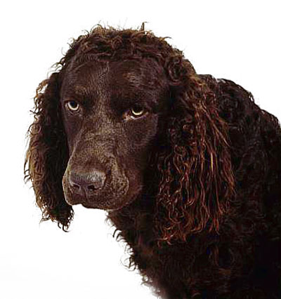 American Water Spaniel with an Unhappy Stare