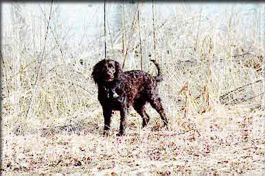 American Water Spaniel Out in the Wild