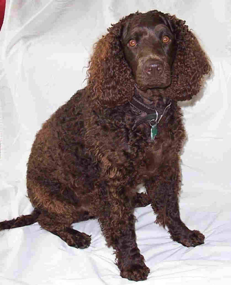 American Water Spaniel Dog Sitting Down