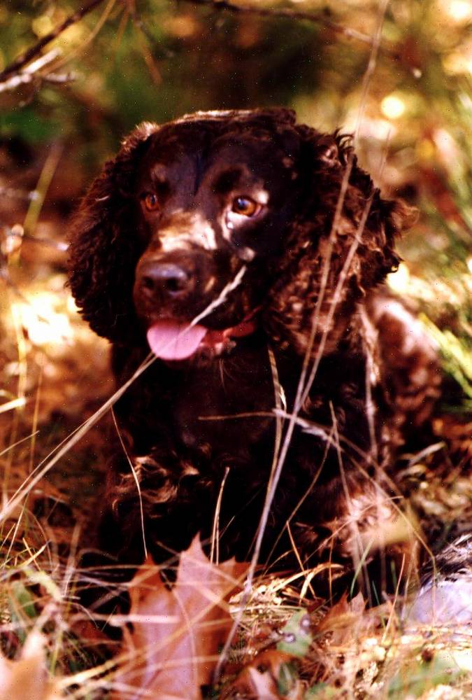 American Water Spaniel out in the field