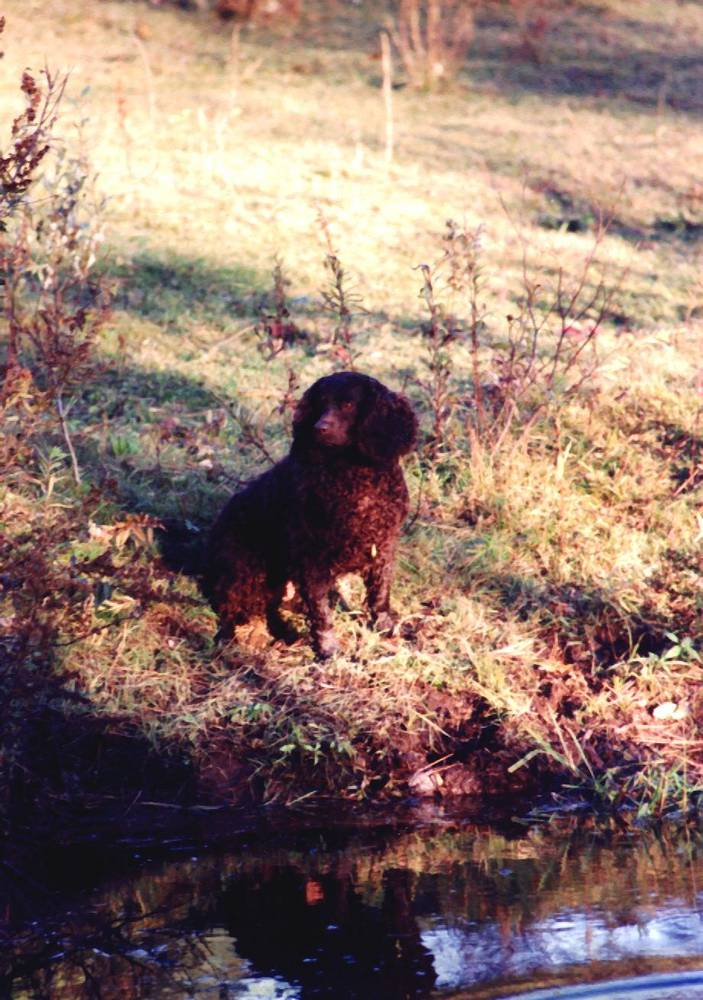 American Water Spaniel laying down next to a river.