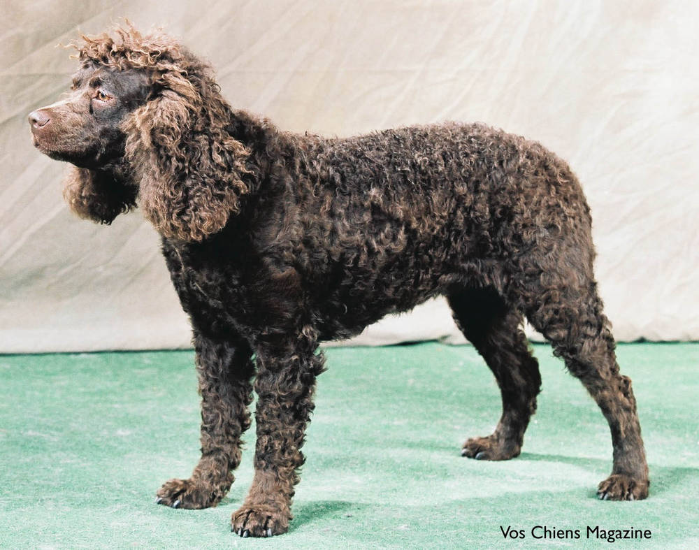 American Water Spaniel in the Show Arena.