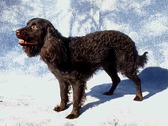 American Water Spaniel Ready for Action