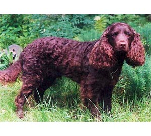 American Water Spaniel out in the field.