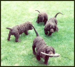 Four American Water Spaniels together