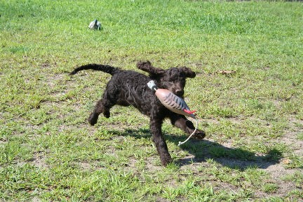 American Water Spaniel Puppy Retrieving