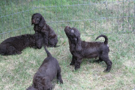 Litter of American Water Spaniels