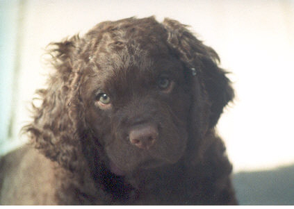 American Water Spaniel Pup at 5 weeks