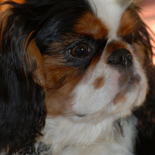 English Toy Spaniel Pictures