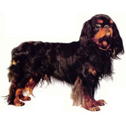 English Toy Spaniel Breed Picture