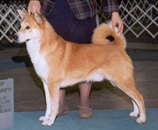 Canaan Dogs
