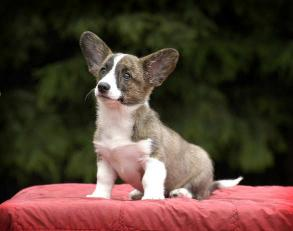Cardigan Welsh Corgi at 10 weeks