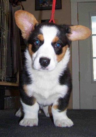 7 Month Old Cardigan Welsh Corgi