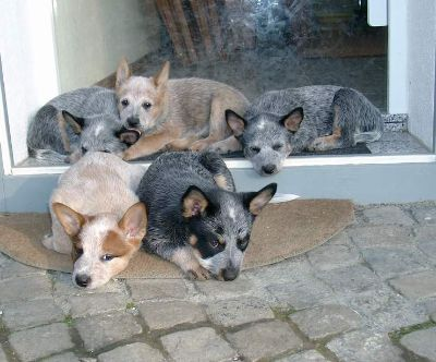 Litter of Australian Cattle Dogs Loungin Around