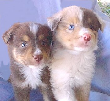 Two Australian Shepherd Pups