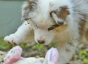 Australian Shepherd Puppy Playing With Its Toy