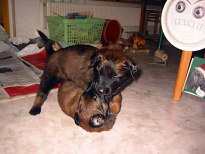 Belgian Malinois Pups Wrestling at 6 weeks