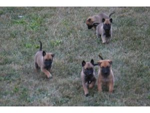 A Litter of Puppies Romping in the Yard